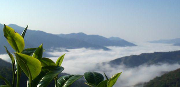 有幸跟随李衡记茶业了解云南野生型古茶树
